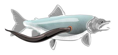 Een lamprei vastgezogen aan een andere vis.
