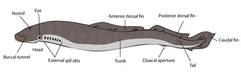 anatomie van de lamprei