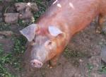porco-domestico