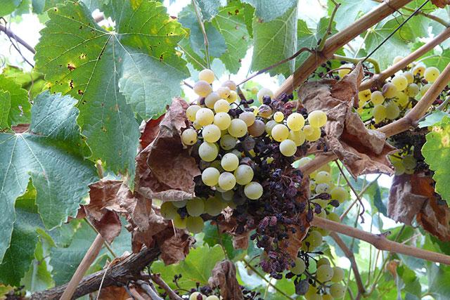 Hier zie je goed hoeveel druiven er verdroogd zijn.