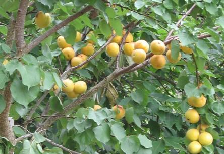 abrikozen in de boom
