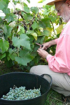 Druiven plukken