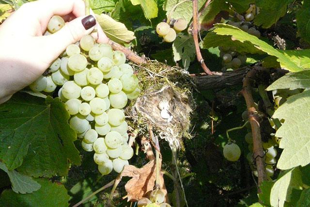 Vogelnestje in wijnstok