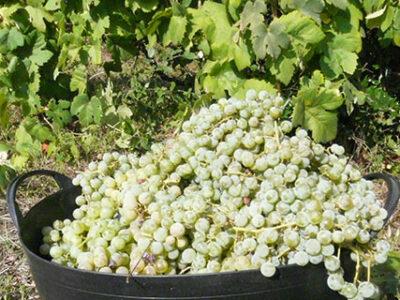 Kuip met druiven