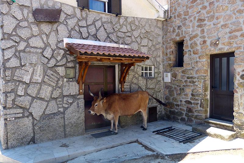 Deze stier heeft de beste plek, in de schaduw onder de luifel.