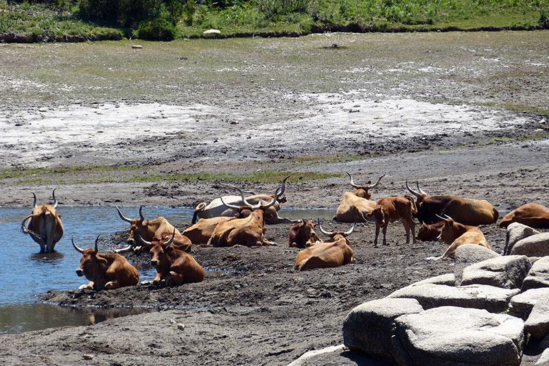 Kudde koeien bij een stuwmeertje in de bergen tussen Bouça dos Homens en Peneda.