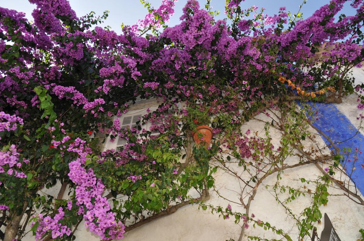 Óbidos in de zomer versieren enorme bougainvilles de huizen