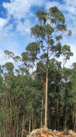 Eucalyptusboom achter ons huis