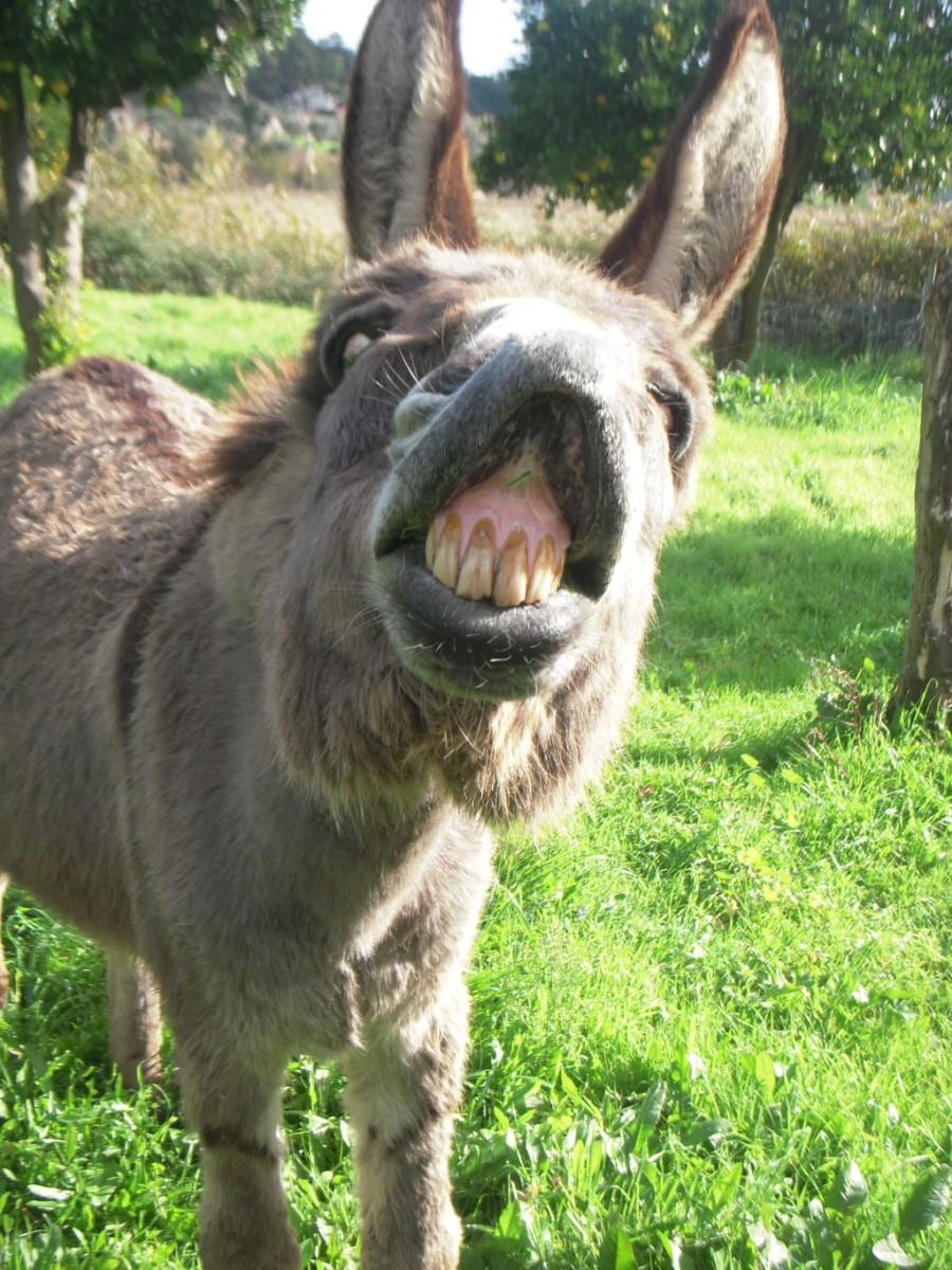 een ezel met opgetrokken bovenlip