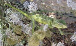 kameleon Algarve