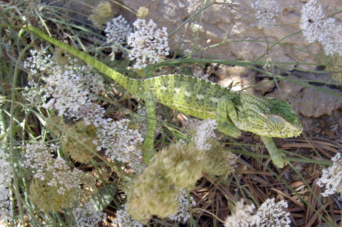 Kameleon in de Algarve tussen witte venkelbloemen.