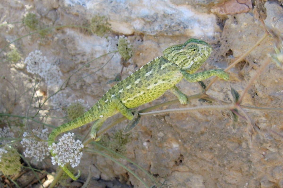 Kameleon in de Algarve, groen van kleur met witte streepjes.