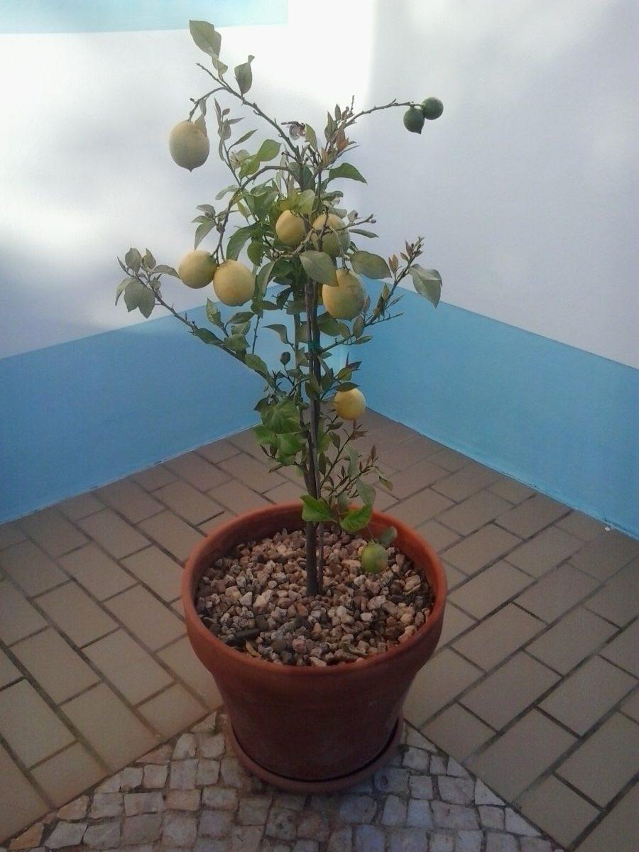 Citroenboom limoeiro geeft het hele jaar door fruit