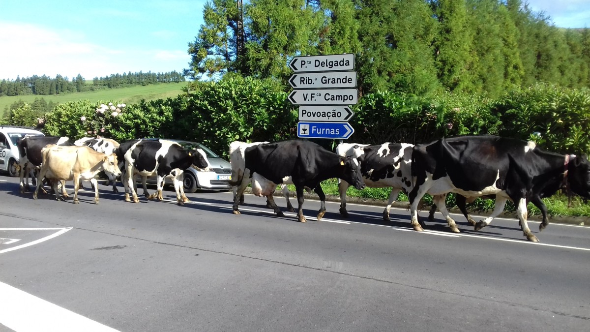 Koeien lopen op straat op São Miguel op de Azoren.