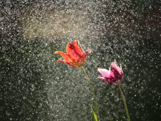 bloemen in de regen. Foto: Michael Podger