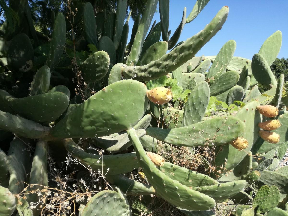 Je ziet hoe rommelig de schijfcactus groeit en hoe groot zijn schijven kunnen zijn.