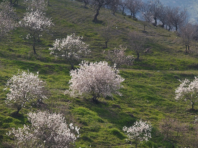 Een helling met een amandelboomgaard erop. De bomen staan in volle bloei en lijken op witte wolken.