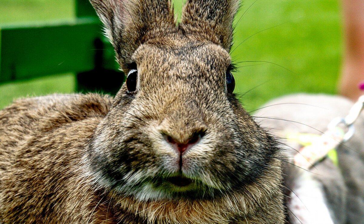 Close-up van een konijn wat recht in de camera kijkt, alsnof het geen idee heeft van wat er gaat gebeuren.