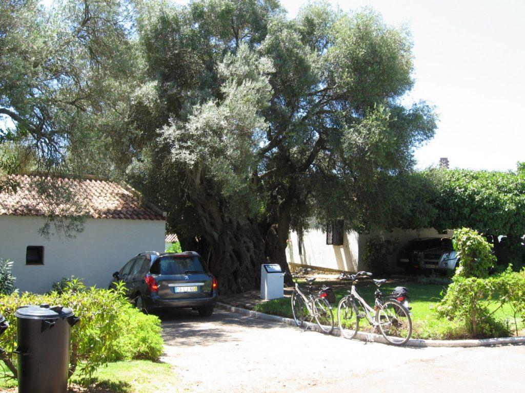 Tussen de vakantiehuisjes van toeristencomplex Pedras d'el Rey staat een eeuwenoude olijfboom.