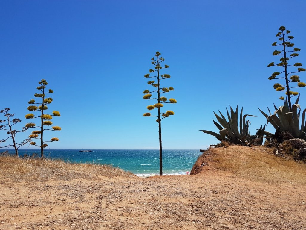 Bloeiende Agave americana in Albufeira met de Atlantische Oceaan op de achtergrond.