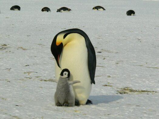 Pinguïnmoeder met kuiken