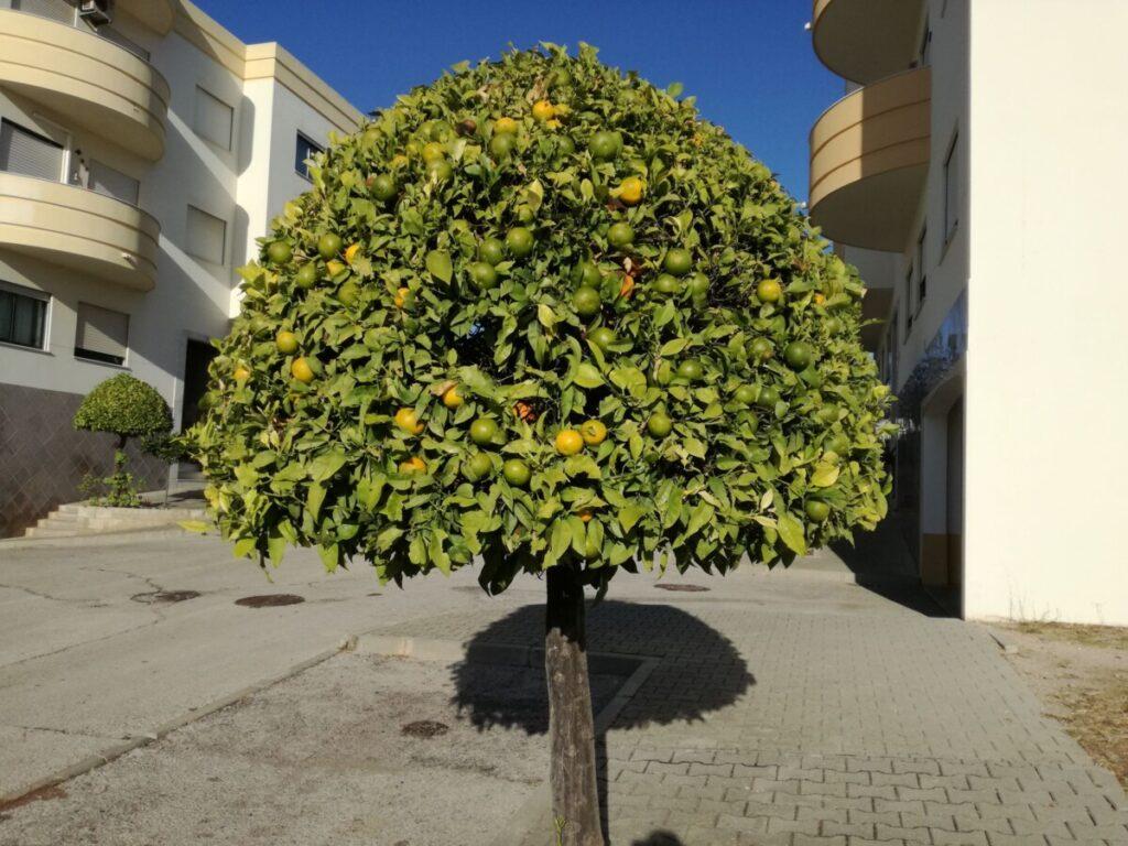 Sinaasappelboompje als straatboom, gesnoeid als een parasolletje