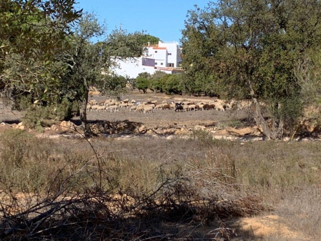 Een kudde schapen in de verdroogde vallei