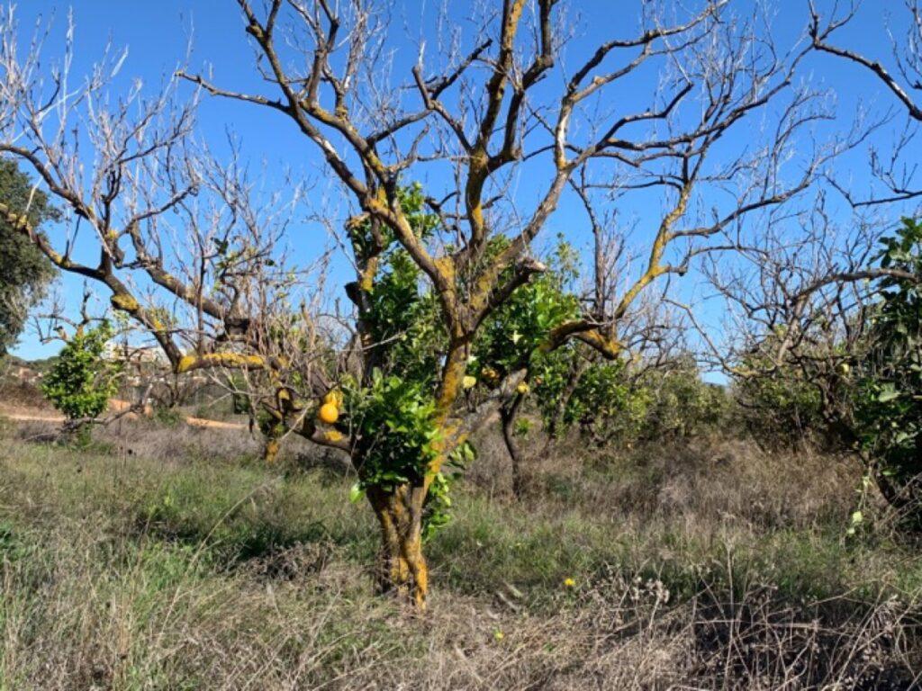 Dorstende sinaasappelbomen geven een troosteloze aanblik