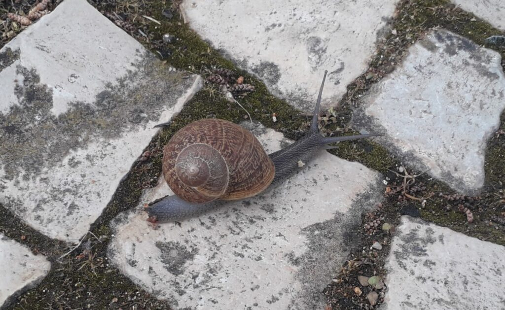 Foto van een slak met huis op de traditionele Portugese calçada keien.
