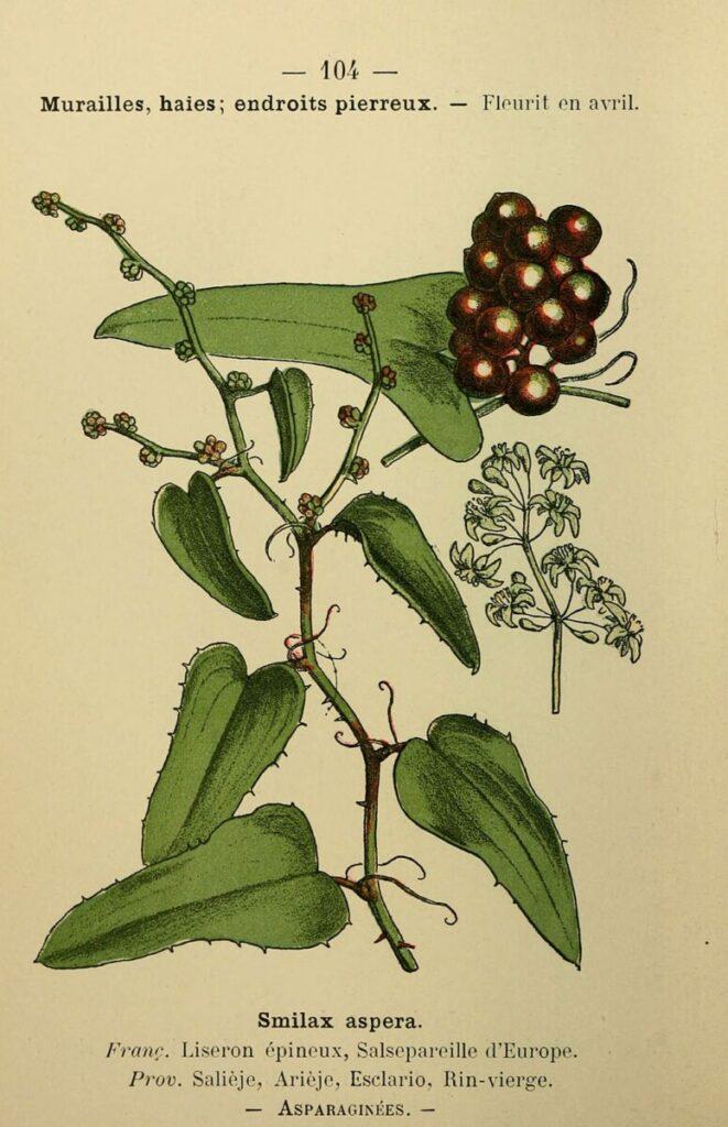 Florablad van struikwinde met bloemen en bessen
