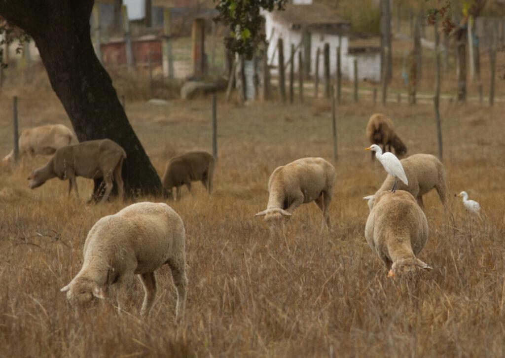 koereigers met schapen