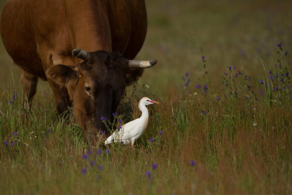 koereiger met koe