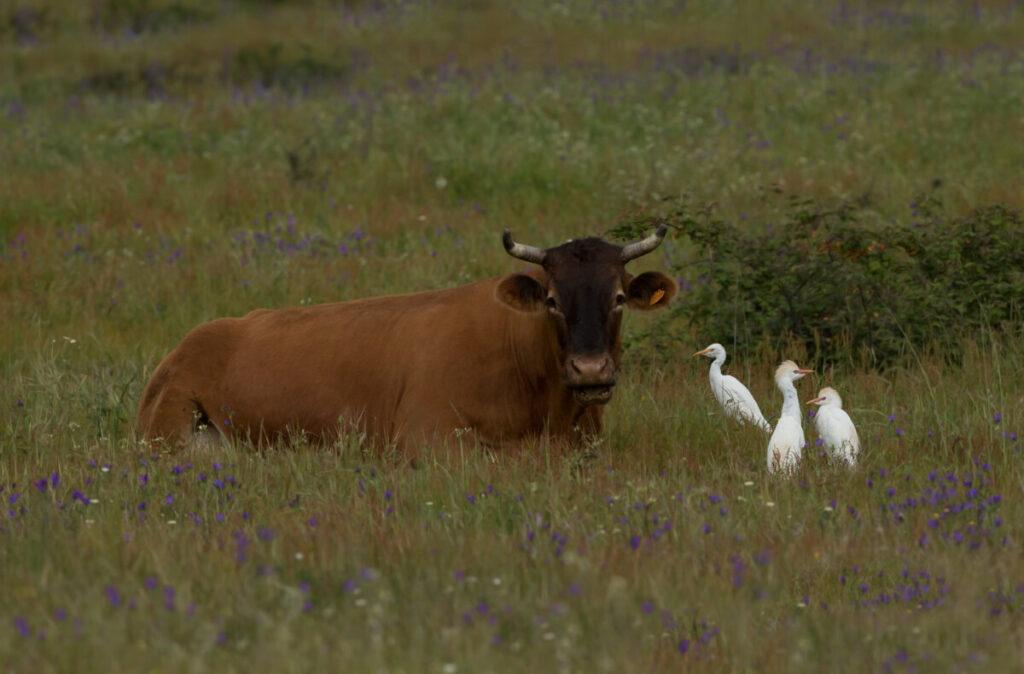 koereigers met koe