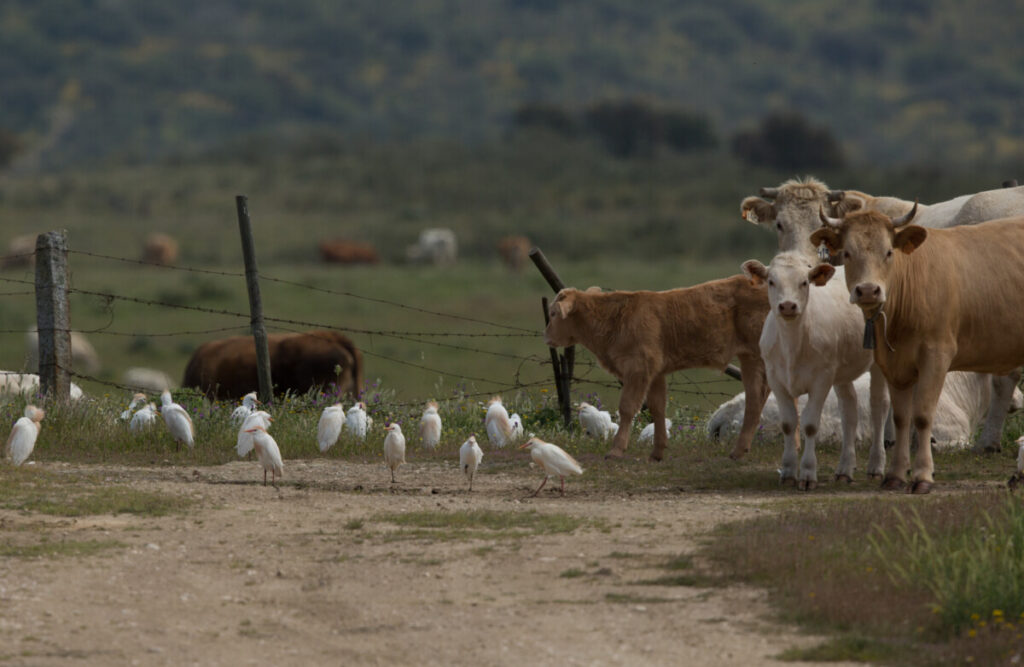 koereigers met koeien